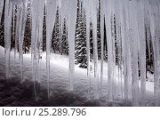 Купить «Trees viewed through sheet of icicles in winter, Utah, USA, February», фото № 25289796, снято 23 сентября 2018 г. (c) Nature Picture Library / Фотобанк Лори
