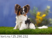Купить «Male Papillon / Butterfly dog / Continental toy spaniel sitting, 8 months», фото № 25290232, снято 16 февраля 2019 г. (c) Nature Picture Library / Фотобанк Лори