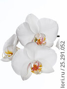 Купить «Hybrid orchid (Phalaenopsis genus)», фото № 25291052, снято 20 октября 2019 г. (c) Nature Picture Library / Фотобанк Лори