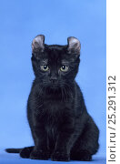 Купить «Domestic cat, American curl shorthair, black male, sitting portrait, against a blue background.», фото № 25291312, снято 19 января 2018 г. (c) Nature Picture Library / Фотобанк Лори