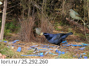 Satin Bowerbird (Ptilonorhynchus violaceus) male arranging blue plastic ornaments and feather at bower, watched by two females, Australian Capital Territory, Australia, September. Стоковое фото, фотограф Dave Watts / Nature Picture Library / Фотобанк Лори