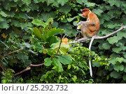 Купить «Proboscis Monkey (Nasalis larvatus) young male feeding on leaves in the forest canopy. Bako National Park, Sarawak, Borneo, Malaysia, April.», фото № 25292732, снято 23 января 2019 г. (c) Nature Picture Library / Фотобанк Лори