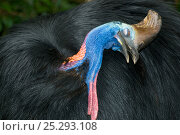 Купить «Southern / Double-wattled cassowary (Casuarius casuarius) wild, adult male preening, Atherton Tablelands, Queensland, Australia, December», фото № 25293108, снято 16 октября 2019 г. (c) Nature Picture Library / Фотобанк Лори