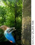 Купить «Southern / Double-wattled cassowary (Casuarius casuarius) wild, adult male feeding on mushroom from tree trunk, Atherton Tablelands, Queensland, Australia, November», фото № 25293184, снято 26 марта 2019 г. (c) Nature Picture Library / Фотобанк Лори