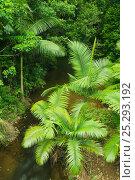 Купить «Alexandra palms (Archontophoenix alexandrae) growing beside Lacey Creek, Mission Beach, Queensland, Australia, December», фото № 25293192, снято 21 июля 2018 г. (c) Nature Picture Library / Фотобанк Лори