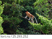 Купить «Proboscis monkey (Nasalis larvatus) male walking along a branch high in the forest canopy, Bako National Park, Sarawak, Borneo, Malaysia, March», фото № 25293252, снято 18 января 2020 г. (c) Nature Picture Library / Фотобанк Лори