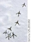 Купить «Grey Heron (Ardea cinerea) footprints in snow. Belgium, December 2010.», фото № 25293692, снято 26 марта 2019 г. (c) Nature Picture Library / Фотобанк Лори