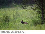 Купить «Wild Carpathian Wolf (Canis lupus). Bieszczady Mountains, the Carpathians, Poland, June.», фото № 25294172, снято 20 февраля 2020 г. (c) Nature Picture Library / Фотобанк Лори