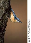 Купить «Eurasian Nuthatch (Sitta europea) on tree trunk. Bialowieza National Park, Bialowieza Forest, Poland, July.», фото № 25294256, снято 26 января 2020 г. (c) Nature Picture Library / Фотобанк Лори