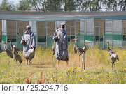 Купить «Common / Eurasian Crane (Grus grus) chicks, ten weeks, being taught to look out for aerial threats by surrogate crane parents wearing grey smocks and holding...», фото № 25294716, снято 26 мая 2018 г. (c) Nature Picture Library / Фотобанк Лори
