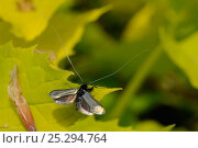 Купить «Male Green Fairy Longhorn Moth (Adela viridella / Adela reaumurella) with long antennae and iridescent wings spread in display posture on Mock orange leaf...», фото № 25294764, снято 27 мая 2019 г. (c) Nature Picture Library / Фотобанк Лори