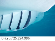Купить «close up of gills of Reef manta ray (Manta alfredi formerly Manta birostris) feeding, with open gill slits showing gill plates through which plankton is...», фото № 25294996, снято 21 августа 2018 г. (c) Nature Picture Library / Фотобанк Лори