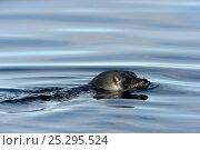 Купить «Ringed Seal (Pusa hispida) at the sea surface. Baffin Island, Nunavut, Canada, April.», фото № 25295524, снято 26 апреля 2019 г. (c) Nature Picture Library / Фотобанк Лори