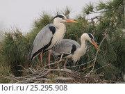 Купить «Grey Herons (Ardea cinerea) at their nest. The Camargue, France, April.», фото № 25295908, снято 6 декабря 2019 г. (c) Nature Picture Library / Фотобанк Лори