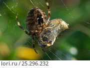 Купить «Garden spider (Araneus diadematus) with Common wasp (Vespula vulgaris) prey wrapped up on web, Somerset, UK, September», фото № 25296232, снято 26 сентября 2018 г. (c) Nature Picture Library / Фотобанк Лори