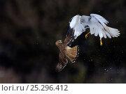 Купить «Northern / Hen Harrier (Circus cyaneus) and Kestrel (Falco tinnunculus) below, fighting in flight. Vosges, France, February.», фото № 25296412, снято 25 апреля 2019 г. (c) Nature Picture Library / Фотобанк Лори