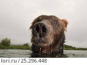 Купить «Close-up of Brown bear (Ursus arctos) in lake, Kamchatka, Far east Russia, August», фото № 25296448, снято 24 февраля 2020 г. (c) Nature Picture Library / Фотобанк Лори