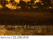 Купить «Ttwo Lechwe (Kobus leche) wading through wetlands at dusk, Okavango Delta, Botswana, April», фото № 25296816, снято 6 декабря 2019 г. (c) Nature Picture Library / Фотобанк Лори