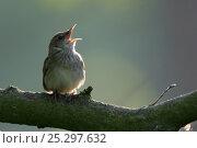 Купить «River Warbler (Locustella fluviatilis) singing. Poleski National Park, Poland, May.», фото № 25297632, снято 26 января 2020 г. (c) Nature Picture Library / Фотобанк Лори