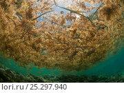 Купить «Sargassum seaweed (Sargassum sp) floating on the sea surface, Palawan, Philippines, May», фото № 25297940, снято 15 августа 2018 г. (c) Nature Picture Library / Фотобанк Лори
