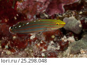 Rainford's / Old glory goby (Amblygobius rainfordi)  New Ireland, Papua New Guinea. Стоковое фото, фотограф Jurgen Freund / Nature Picture Library / Фотобанк Лори