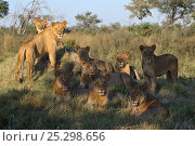 Купить «African lion (Panthera leo) pack of lions, lionesses and juvenile males, Okavango Delta, Botswana, April», фото № 25298656, снято 22 октября 2018 г. (c) Nature Picture Library / Фотобанк Лори