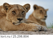 Купить «African lion (Panthera leo) lioness resting, portrait, Okavango Delta, Botswana, January», фото № 25298804, снято 16 октября 2018 г. (c) Nature Picture Library / Фотобанк Лори