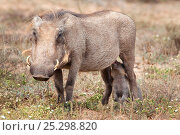Warthog (Phacochoerus aethiopicus) suckling young, Addo national park, Eastern Cape, South Africa, January. Стоковое фото, фотограф Ann & Steve Toon / Nature Picture Library / Фотобанк Лори