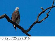 Купить «Grey-headed Fishing Eagle / Grey-headed Fish-Eagle (Ichthyophaga ichthyaetus) perching. Assam, India.», фото № 25299316, снято 25 мая 2019 г. (c) Nature Picture Library / Фотобанк Лори