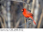 Купить «Northern Cardinal (Cardinalis cardinalis) male perching on a branch. Quebec, Canada, February.», фото № 25299512, снято 2 июня 2020 г. (c) Nature Picture Library / Фотобанк Лори