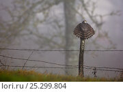 Купить «Eurasian Sparrowhawk (Accipiter nisus) rear view perching on fence post with tail feathers spread. Vosges, France, January.», фото № 25299804, снято 25 апреля 2019 г. (c) Nature Picture Library / Фотобанк Лори