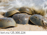 Купить «Waves crashing over Horseshoe crabs (Limulus polyphemus) spawning, Slaughter Beach, Delaware, USA, May», фото № 25300224, снято 17 декабря 2017 г. (c) Nature Picture Library / Фотобанк Лори