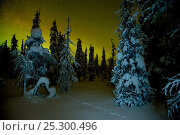 Купить «Beginnings of the Northern lights in night sky in winter with conifer trees laden with snow, Kuusamo, northern Finland, February 2009», фото № 25300496, снято 22 июля 2018 г. (c) Nature Picture Library / Фотобанк Лори