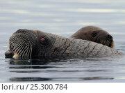 Купить «A female Walrus (Odobenus rosmarus) and her yearling calf at the sea surface. Foxe Basin, Nunavut, Canada, July.», фото № 25300784, снято 19 октября 2019 г. (c) Nature Picture Library / Фотобанк Лори