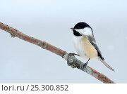 Купить «Black-capped Chickadee (Poecile atricapillus)perching on branch. Quebec, Canada, February.», фото № 25300852, снято 2 июня 2020 г. (c) Nature Picture Library / Фотобанк Лори