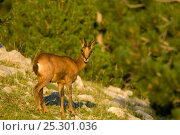 Chamois (Rupicapra rupicapra) looking at the camera. Cad' Pedraforca Nature Reserve, Barcelona province, Catalonia, Spain, July. Стоковое фото, фотограф Inaki Relanzon / Nature Picture Library / Фотобанк Лори