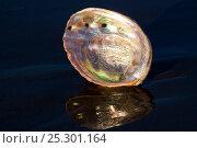 Купить «Red Abalone (Haliotis rufescens) shell interior showing nacreous mother of pearl. Santa Barbara, California, USA, February.», фото № 25301164, снято 24 мая 2018 г. (c) Nature Picture Library / Фотобанк Лори