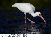 Купить «White Ibis (Eudocimus albus) adult in non-breeding plumage hunting in marine grass during extreme low tide. Tarpon Springs, Florida, USA, November.», фото № 25301196, снято 25 марта 2019 г. (c) Nature Picture Library / Фотобанк Лори