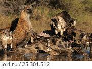Купить «Spotted hyaenas (Crocuta crocuta) and White backed vultures feeding on Giraffe carcass, Okavango Delta, Botswana, June», фото № 25301512, снято 19 июня 2019 г. (c) Nature Picture Library / Фотобанк Лори