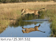 Купить «African lion (Panthera leo) lioness leaping over water, reflection in water, Okavango Delta, Botswana, July 2007», фото № 25301532, снято 22 октября 2018 г. (c) Nature Picture Library / Фотобанк Лори
