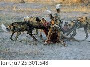 Купить «Pack of African wild dogs (Lycaon pictus) tearing apart antelope carcass, Okavango Delta, Botswana, July», фото № 25301548, снято 26 марта 2019 г. (c) Nature Picture Library / Фотобанк Лори