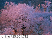 Купить «Japanese Beech (Fagus crenata) in winter with branches covered in hoar frost reflecting a reddening sky, Japan», фото № 25301712, снято 26 мая 2020 г. (c) Nature Picture Library / Фотобанк Лори