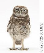 Купить «Portrait of a young Little Owl (Athene noctua).», фото № 25301872, снято 16 февраля 2019 г. (c) Nature Picture Library / Фотобанк Лори