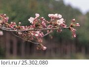 Купить «Cherry tree (Prunus / Cerasus sp) Shiga, Japan, spring flowering sequence 2/7, buds opening, April», фото № 25302080, снято 24 сентября 2018 г. (c) Nature Picture Library / Фотобанк Лори