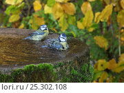 Купить «Blue Tits (Parus caeruleus) bathing in a bird bath. Surrey, UK, October.», фото № 25302108, снято 25 апреля 2018 г. (c) Nature Picture Library / Фотобанк Лори
