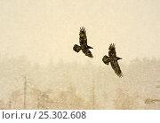 Купить «Two Common ravens (Corvus corax) in flight through snow, Finland, April», фото № 25302608, снято 26 марта 2019 г. (c) Nature Picture Library / Фотобанк Лори