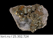 Купить «Pyrite (FeS2, iron sulfide), popularly known as 'fool's gold', formerly used in the production of sulfuric acid. Sample from Peru.», фото № 25302724, снято 14 декабря 2017 г. (c) Nature Picture Library / Фотобанк Лори