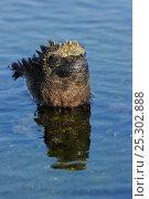 Купить «Marine Iguana (Amblyrhynchus cristatus) head emerging from water. Rabida Island, Galapagos, Ecuador, April.», фото № 25302888, снято 19 сентября 2019 г. (c) Nature Picture Library / Фотобанк Лори