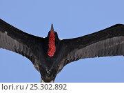 Купить «Great Frigatebird (Fregata minor) male in flight. Galapagos, Ecuador, April.», фото № 25302892, снято 23 января 2019 г. (c) Nature Picture Library / Фотобанк Лори