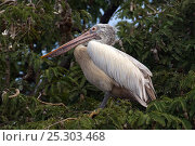 Купить «Spot-billed Pelican or Grey Pelican (Pelecanus philippensis) at roost. Karnataka, India.», фото № 25303468, снято 26 марта 2019 г. (c) Nature Picture Library / Фотобанк Лори